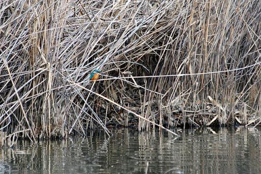 さっきのカワセミが遠くの葦に止まっていた