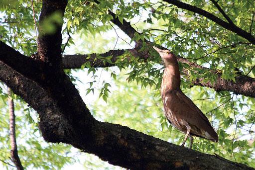ミゾゴイ  全長50㎝くらい サギの一種