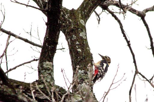 アカゲラ  エナガ、メジロ等の小鳥に混じって移動していた