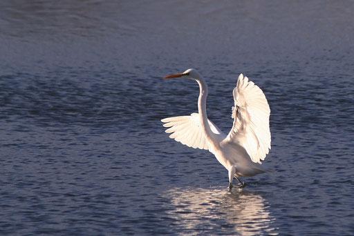 ダイサギ  夕日に向かって翼を広げている姿が神々しい
