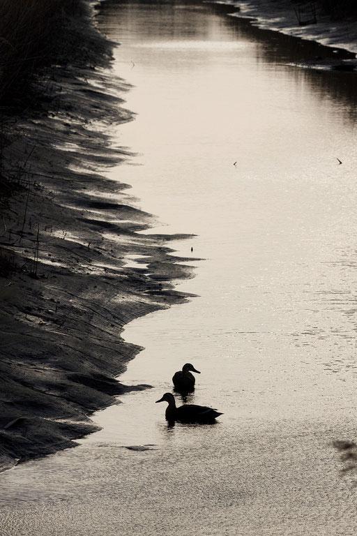 カルガモ  薄暮の時間にカラーで撮影したモノトーンの世界 タイトル:「静寂」