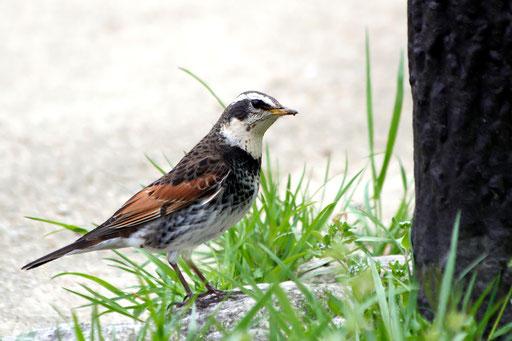 ツグミ  福井の県鳥