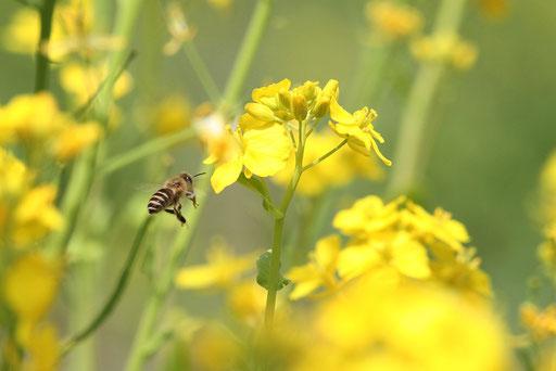 ミツバチ  菜の花畑をせわしげにブンブンと飛んでいる
