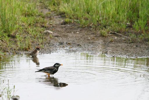 ムクドリとスズメ  2羽で水浴び