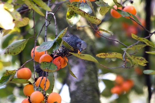 ヒヨドリ  果物や花と一緒に写すと華やかさや季節感が出るのがいい