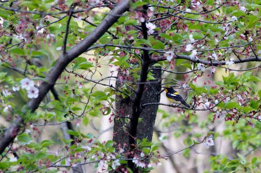 キビタキ  桜がほとんど散っている