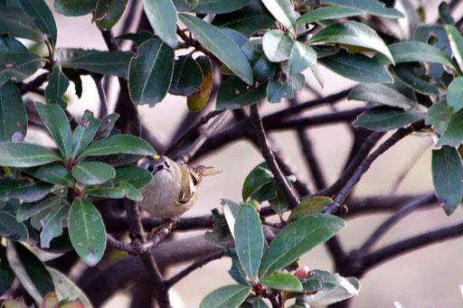 キクイタダキ  およそ鳥らしくない顔をしている