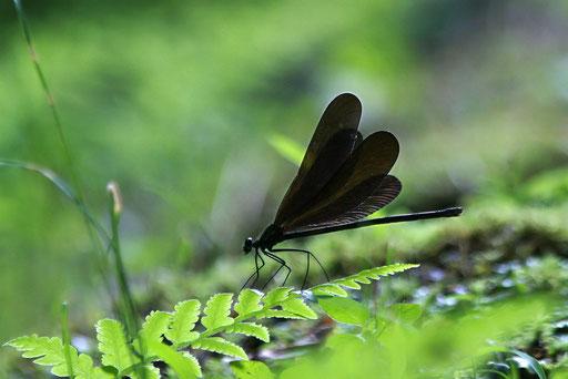 ハグロトンボ  ゆっくりと羽を広げる理由は?