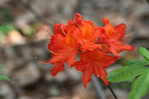 上の花の隣にさいていたキリシマツツジ(おそらく)