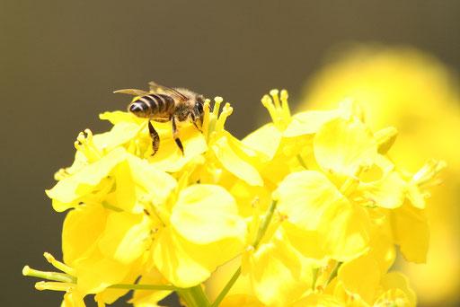 ミツバチ  春の陽光がまぶしい