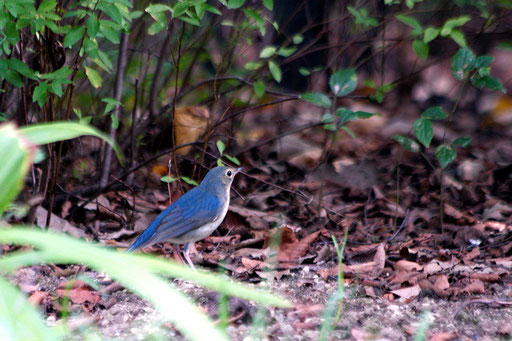 コルリ  ブルーの色が鈍いので若鳥