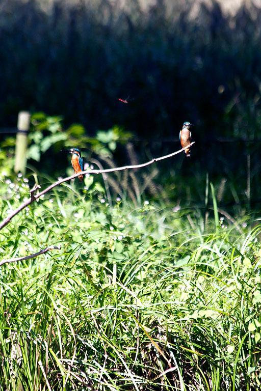 カワセミ  赤トンボが「おいおい、そこは俺の場所やで」という感じ 無視をするカワセミ