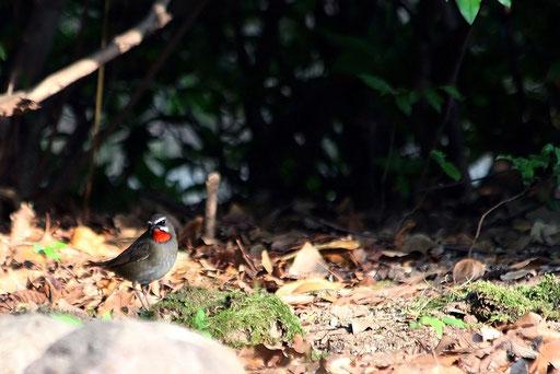ノゴマ  個人的にもう一度見てみたい野鳥BEST3にランクイン