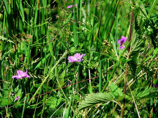 Sumpf-Storchschnabel (Geranium palustre) Foto: Tanja Frischgesell