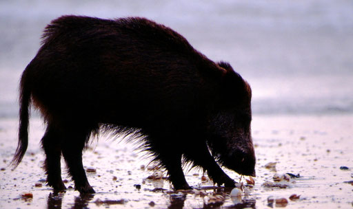 Foraging on a beach at sunset, a boar pulls succulent meat from a clam he has cracked open.  Whales' ancestors must have done the same millions of years ago, gradually venturing into deeper waters.  Near the mouth of the Guadalquivir River, Spain.