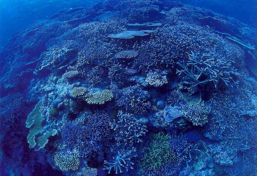 An Okinawan coral outcrop covered with various species of Acropora.