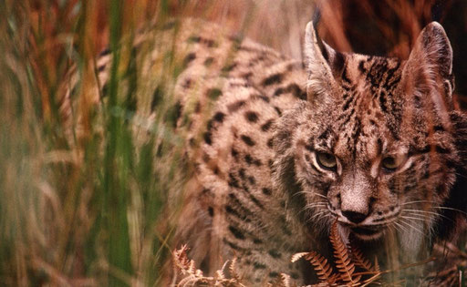 An Iberian lynx, one of the rarest cats in the world; Spain.
