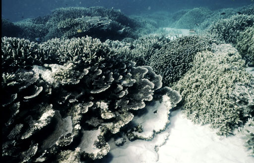 Amazingly dense, untouched stands of coral in the inshore shallows of North Cinque Island, Andaman Islands, India.
