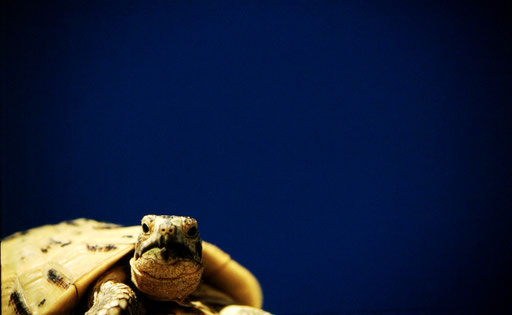 A Mediterranean tortoise pauses as he crests the top of a dune; Coto de Donana, Spain.