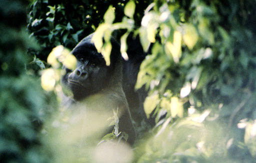 The moment our eyes first met -- a silverback mountain gorilla; Djomba, DRC. During the savage wars that swept through east-central Africa in the 1990s, this alpha male (named Rugabo by researchers) was killed by poachers.