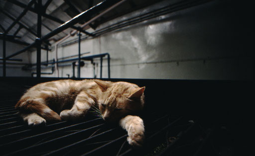 Safe beneath a distillery's roof, a 'whiskey cat' rests from his rodent-hunting labors.  Islay, Scotland.
