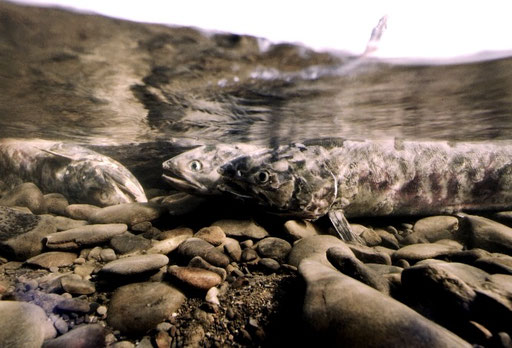 Chum salmon in their death throes after spawning in the clear waters of a Yukon River tributary stream; near Kaltag, Alaska, USA.