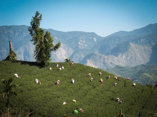 teeanbaugebiet alishan