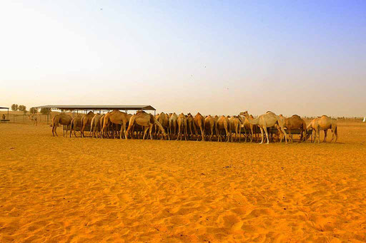 Camels in the desert (Foto: Daniel Schlenk)