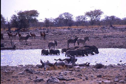 Frühmorgens - Tiere an der Wasserstelle