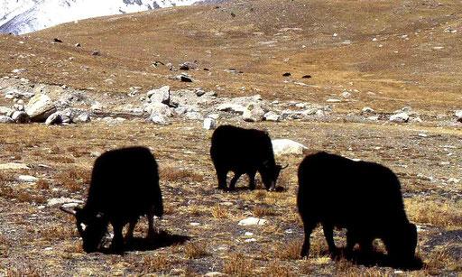 Yaks im Karakorum