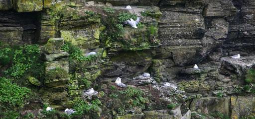 Nistplätze für die Möwen bei den Cliffs of Moher- mehr zu Irlands Flora und Fauna hier - einfach auf das Bild klicken