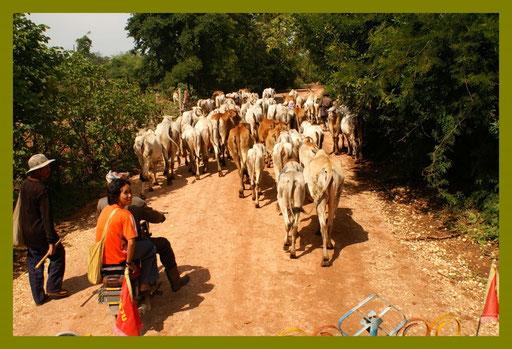 Kuh-Karawane auf dem Weg in die Stallungen
