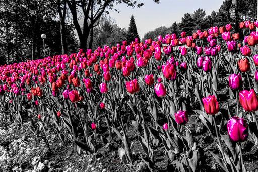 Bayreuth - Blumen vor dem Festspielhaus (einfach für alle Farben die Sättigung raus und lila stehen lassen - fertig)