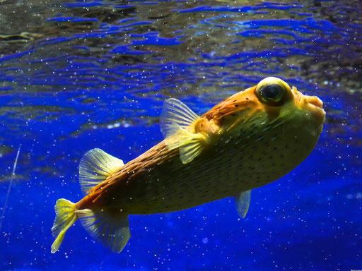 Kugelfisch im Zoo von Köln