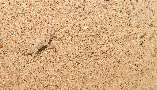 Genau hinschauen, gut getarnt - kleine Krabbe am Stand von Chaweng/Foto: Daniel Schlenk