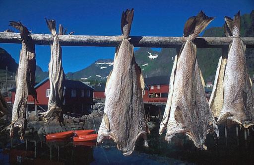 Norvège,08 1997,séchage des Morues aux Lofoten