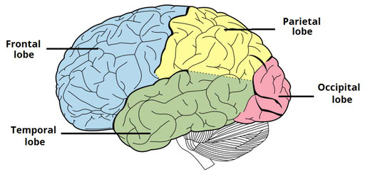lobes of the brain; frontal, temporal, parietal, and occipital