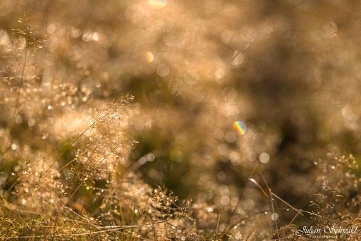 Nikon, D800, Nikon D800, f/2, f/2.0, Offenblende, Bokeh, Samyang, WalimexPro, Bower, Rokinon, 135mm, 135mm f/2.0, WalimexPro 135mm f/2, Samyang 135mm f/2, Julian Schwald, Schwarzwald, Gras, Regenbogen