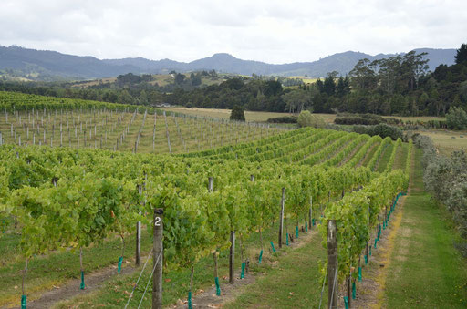 Ransom vineyard, Matakana