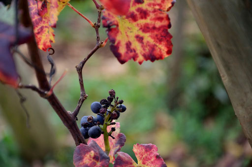 Pinot Noir Grape Chassagne-Montrachet