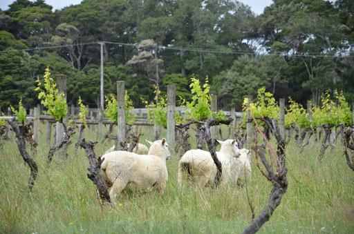 Matua Valley vineyard, Waimauku