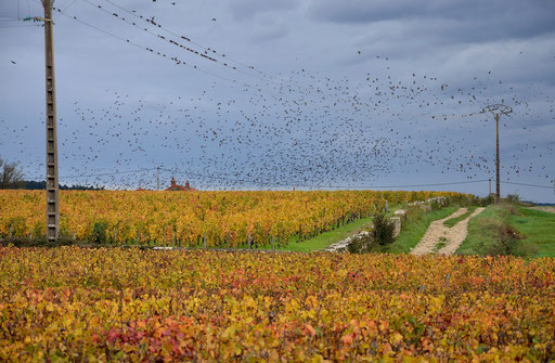 Hungry Burgundy birds
