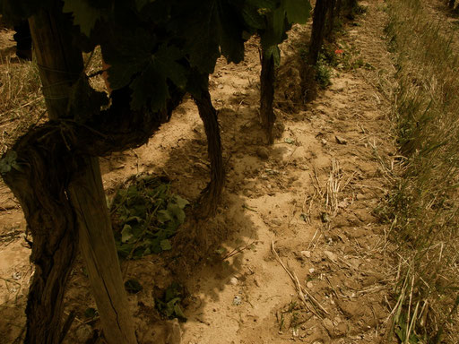 Vineyard Terroir of Chateau La Dorgonne