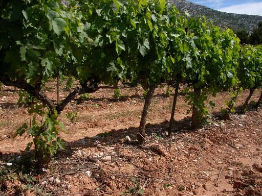Vineyard of Domaine Saint-Ser
