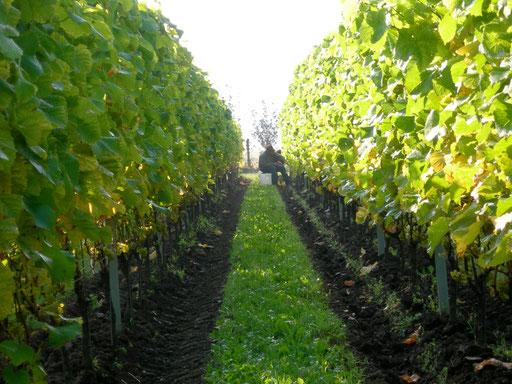 Klagshamn Vineyard Sweden