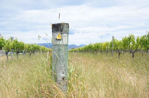 Vineyard of Biodynamic Producer Seresin Marlborough