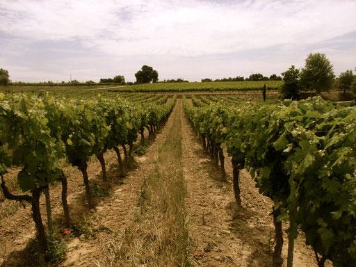 Vineyard Chateau La Dorgonne