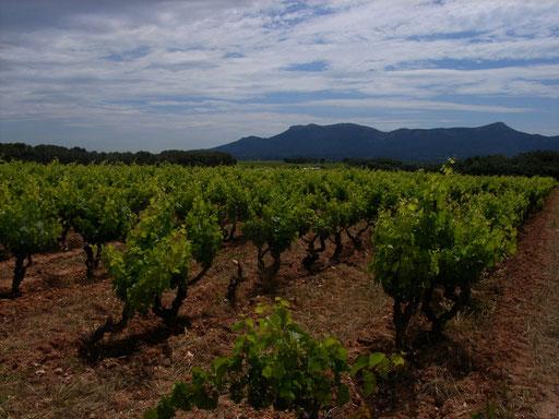 Vineyard of Mas de Cadenet Provence