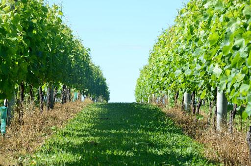 Soljans vineyard, Kumeu