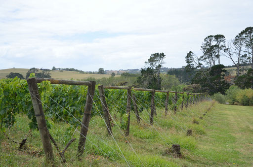 Heron's Flight vineyard, Matakana